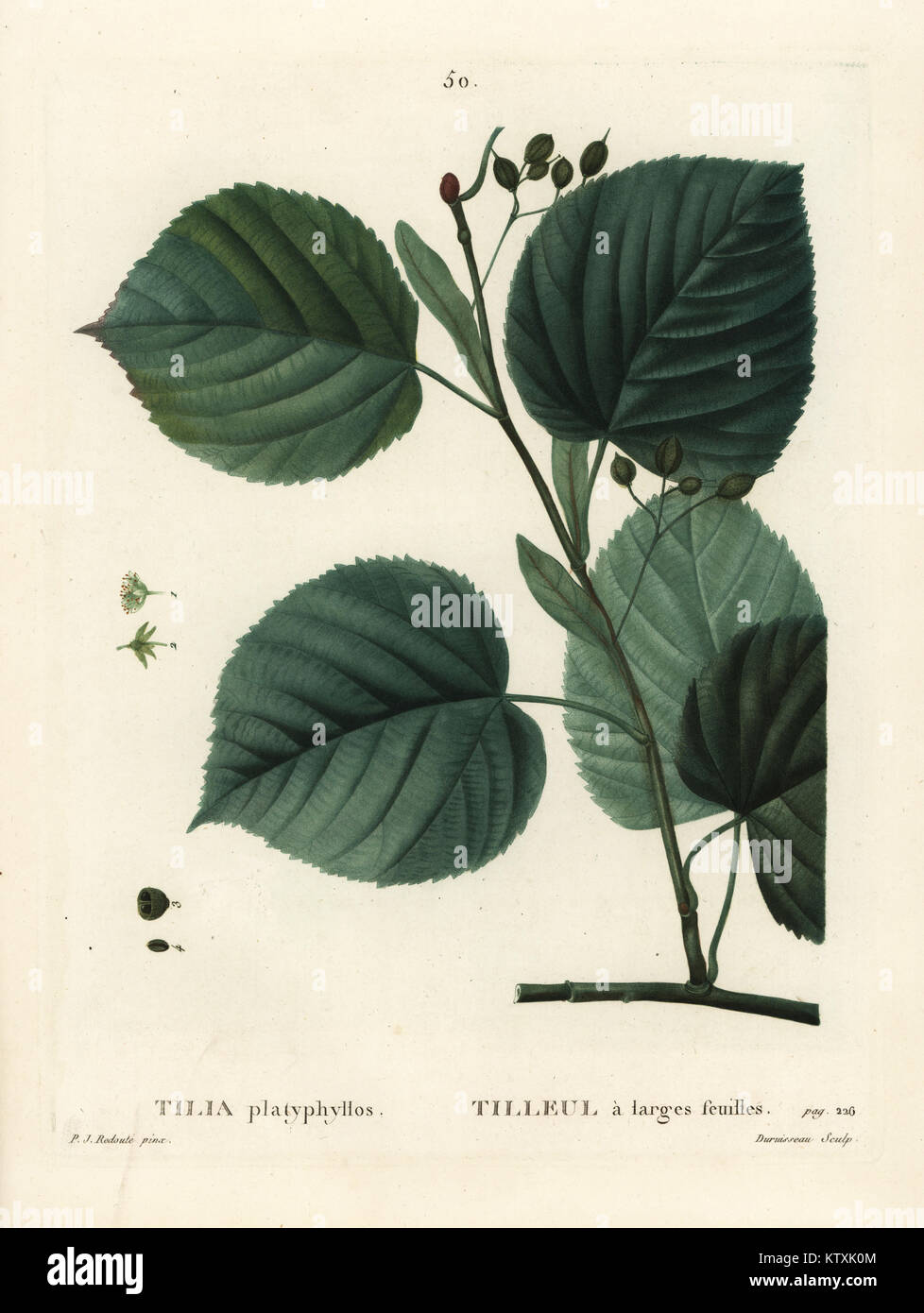 Largeleaf linden tree, Tilia platyphyllos. Handcoloured stipple engraving by Du Ruisseau after an illustration by Stock Photo