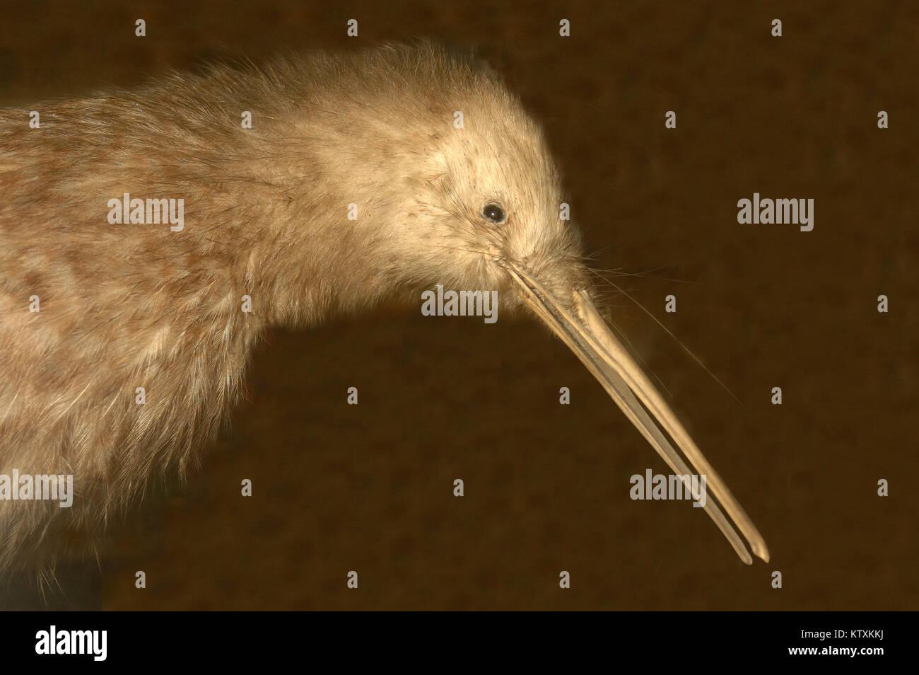 Little Spotted kiwi, Apteryx oweni, New Zealand - Stock Image