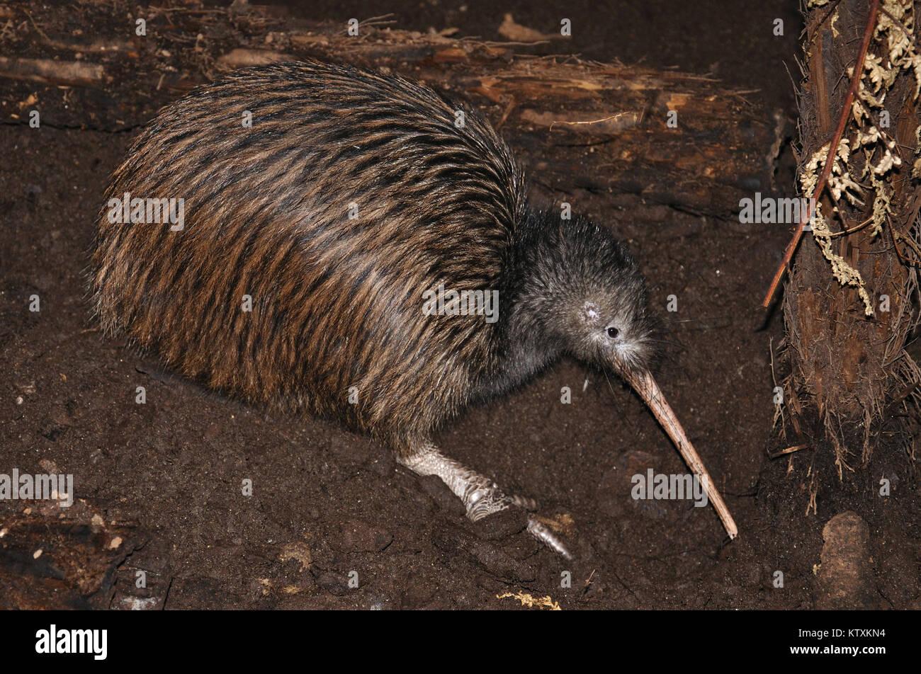 North Island brown kiwi, Apteryx australis, New Zealand - Stock Image