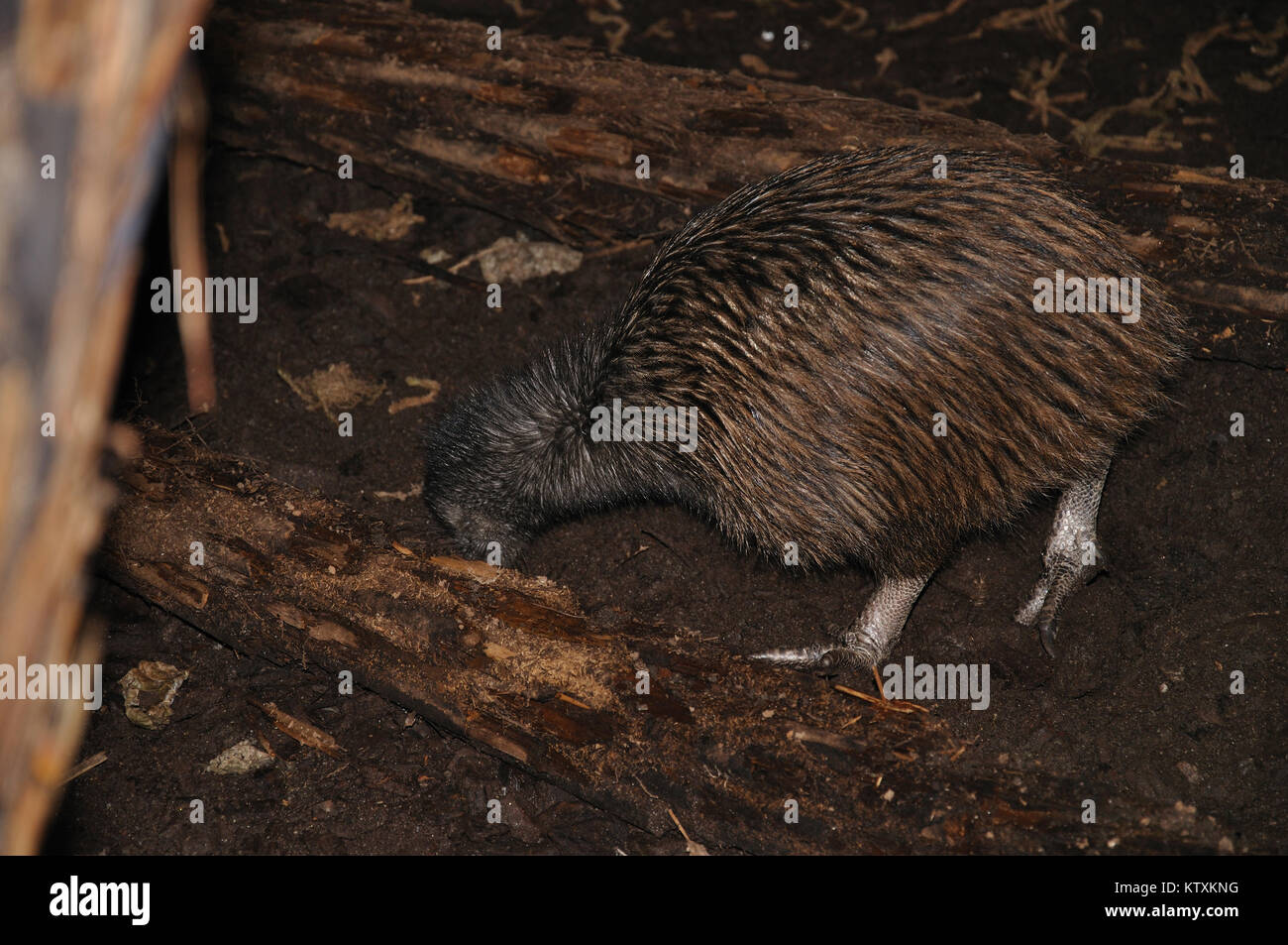 North Island brown kiwi, Apteryx australis, buries its beak in the ground, searching for food, New Zealand Stock Photo