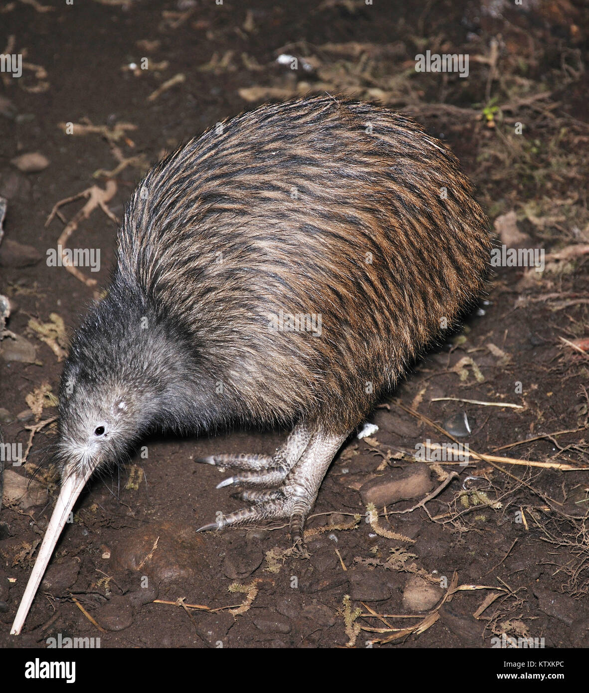 North Island brown kiwi, Apteryx australis, searching for food in New Zealand bush setting - Stock Image