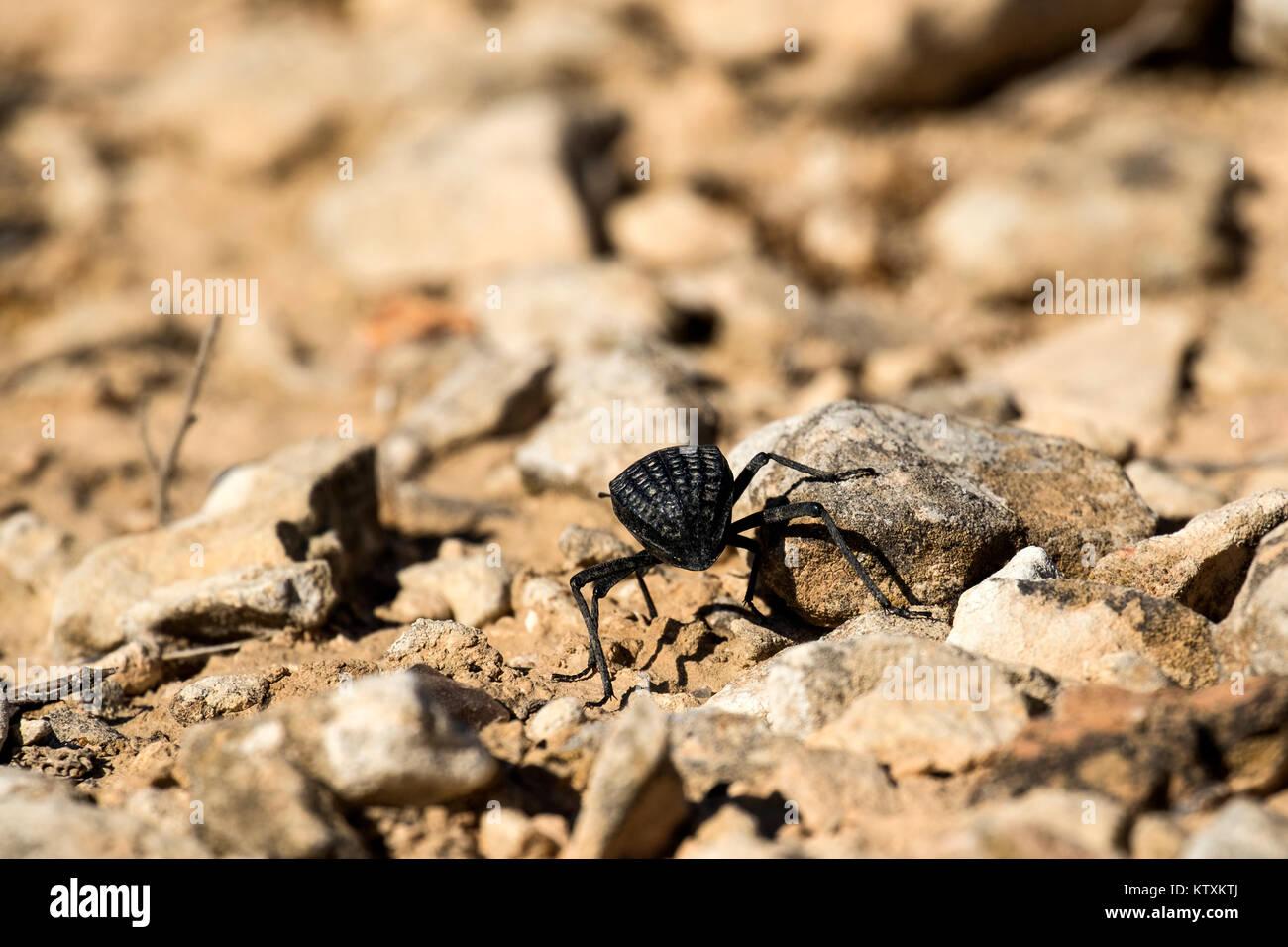 Beetle from the family of darkling beetles (Pimelia bipunctata) - Stock Image