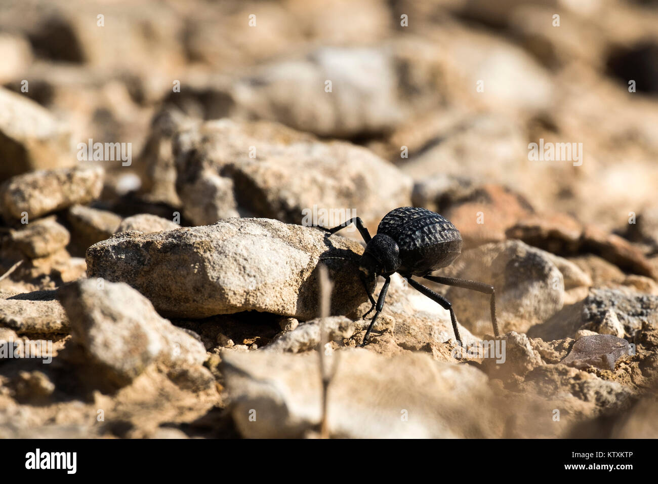 Beetle from the family of darkling beetles crawls on stones (Pimelia bipunctata) - Stock Image