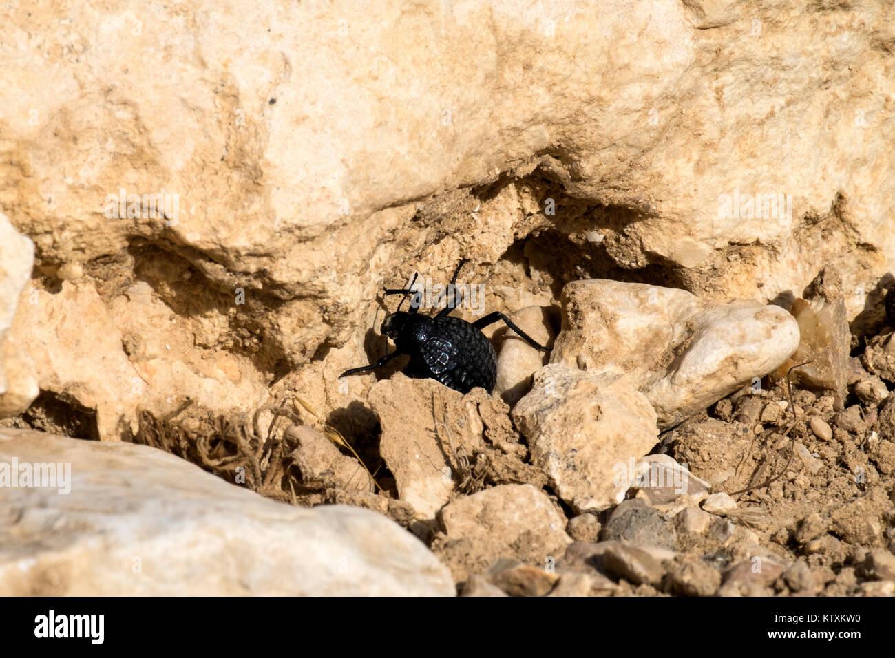 Beetle from the family of darkling beetles sits between stones (Pimelia bipunctata) - Stock Image