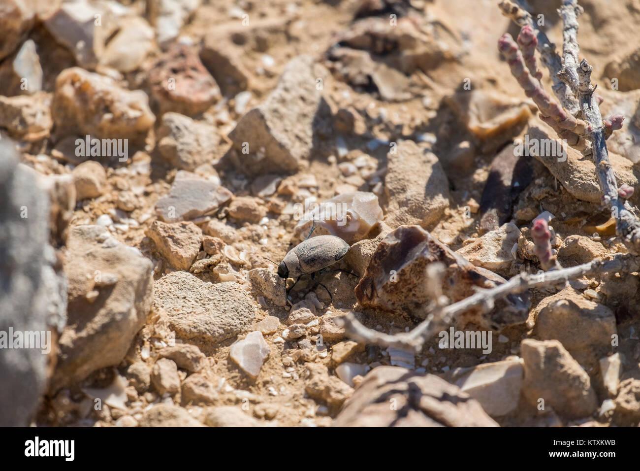 Desert beetle creeps between stones (Pterolasia squalida) - Stock Image