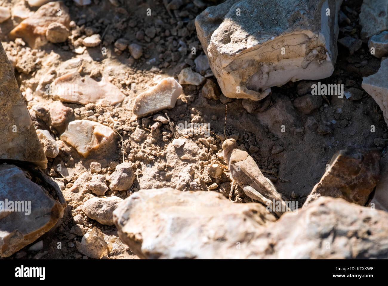 Desert locust sit between stones (Sphingonotus octofasciatus) - Stock Image