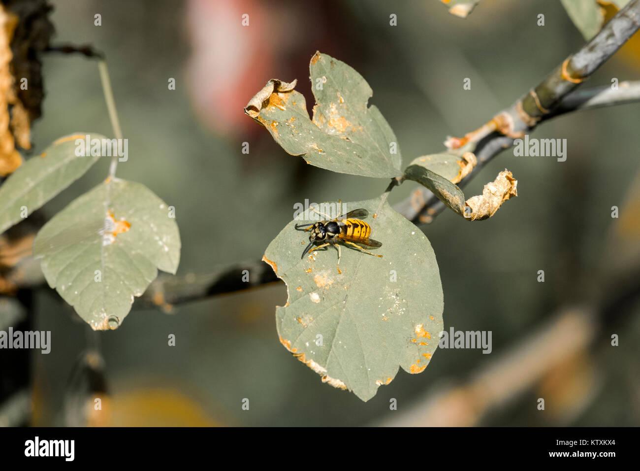 European wasp crawling on the leaf of a tree (Vespula vulgaris) - Stock Image