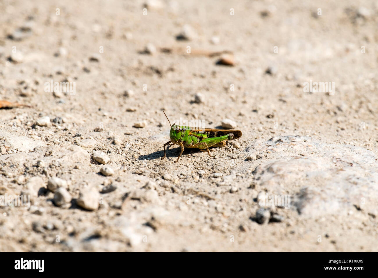 Grasshopper of the Acrididae family sits on a dirt road (Omocestus viridulus) - Stock Image