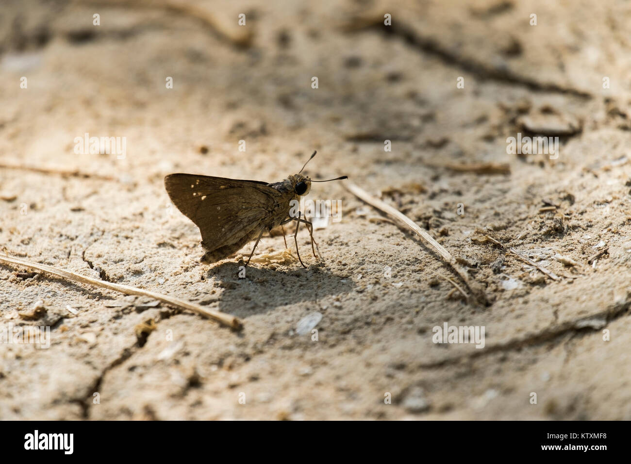 Small brown Israeli butterfly sits on the ground - Stock Image