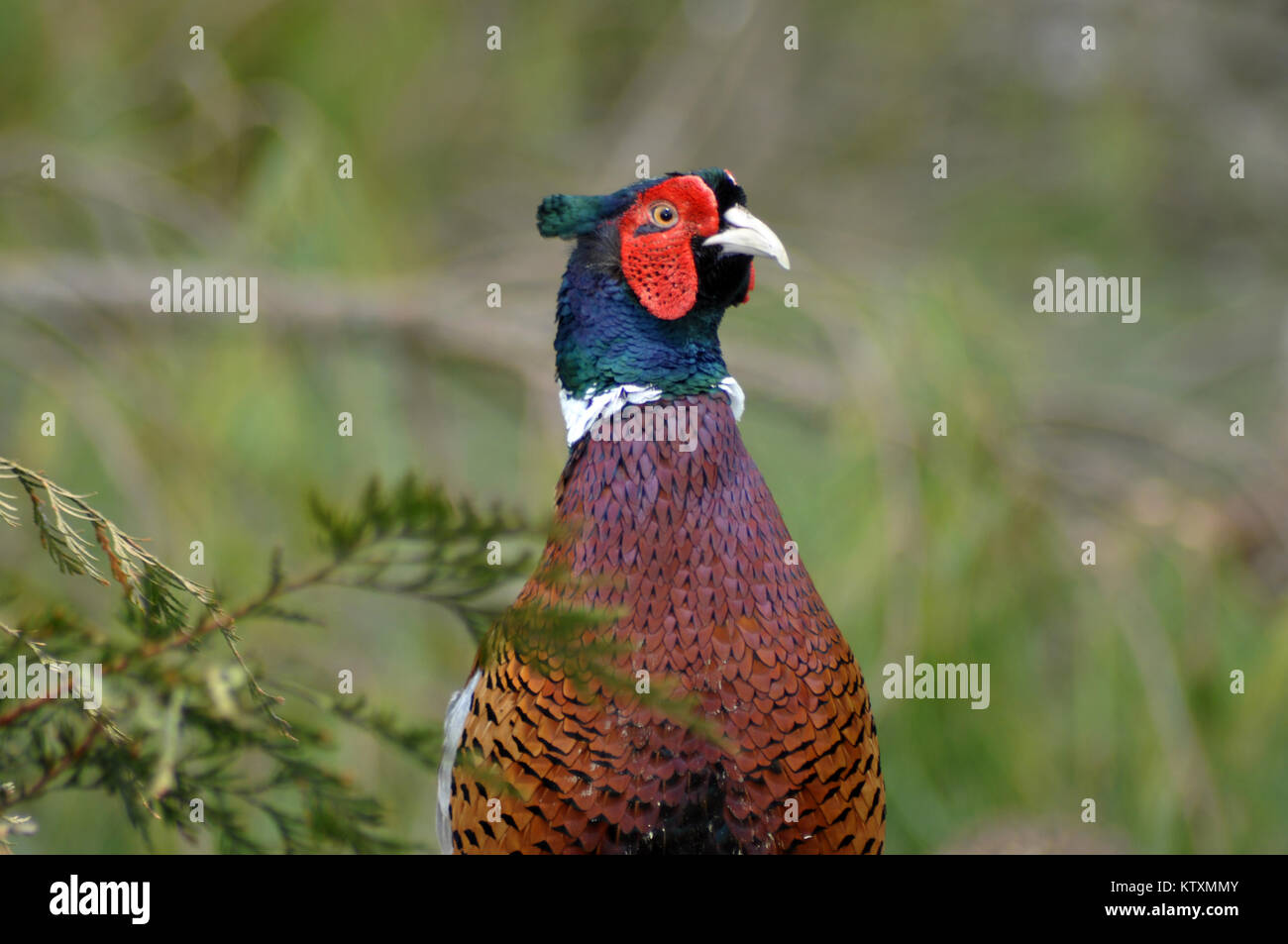 Portrait of gamebird, the male ring-necked pheasant, Phasianus colchicus - Stock Image