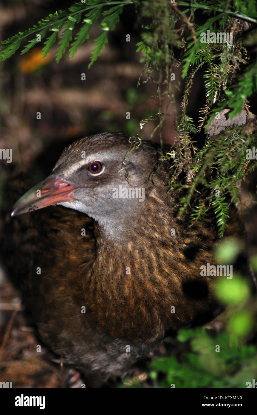 Portrait of Weka, Gallirallus australis, Westland, South Island, New Zealand - Stock Image