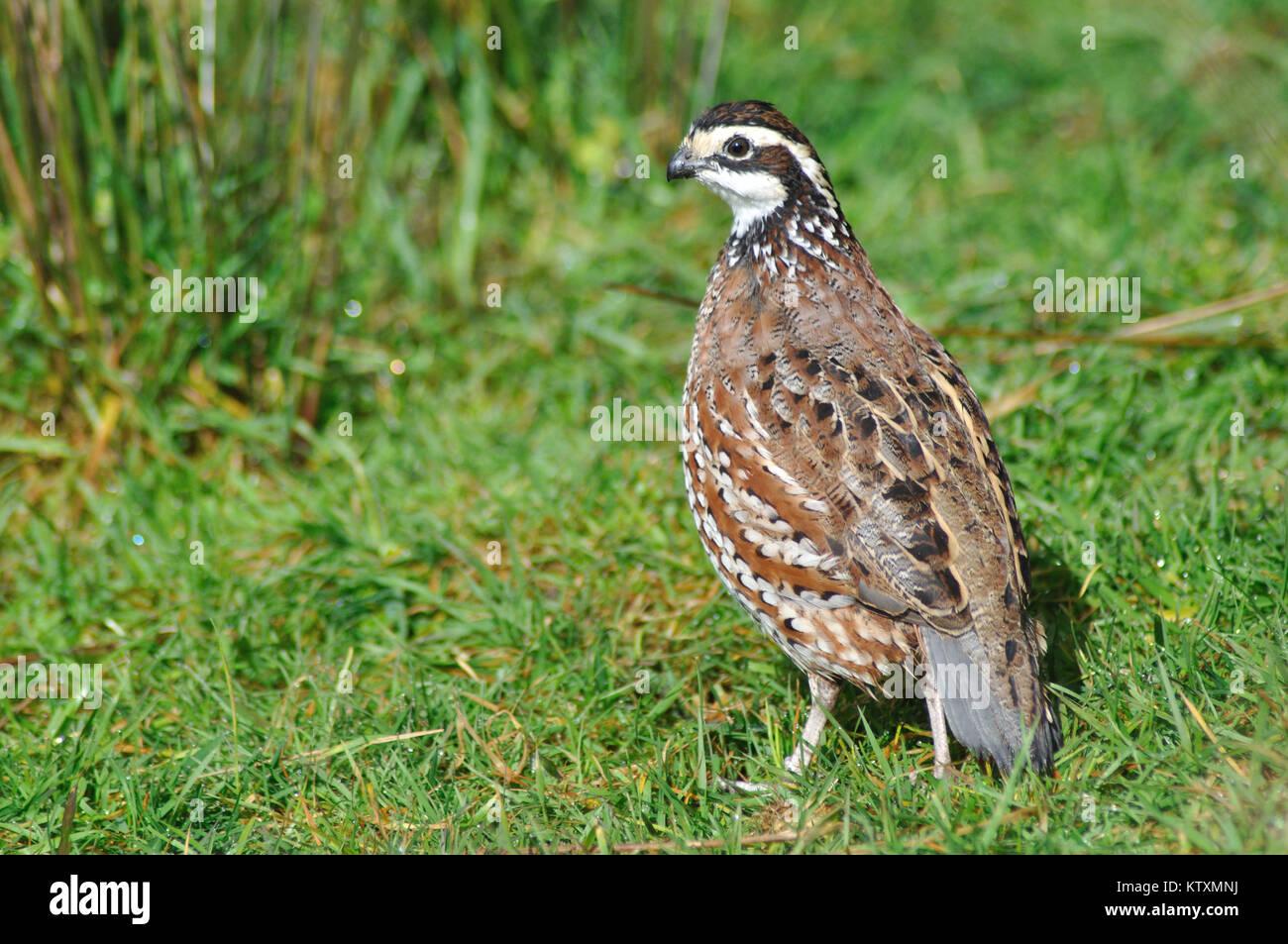 male Northern Bobwhite, Virginia Quail or Bobwhite Quail, Colinus virginianus, a ground-dwelling bird native to - Stock Image