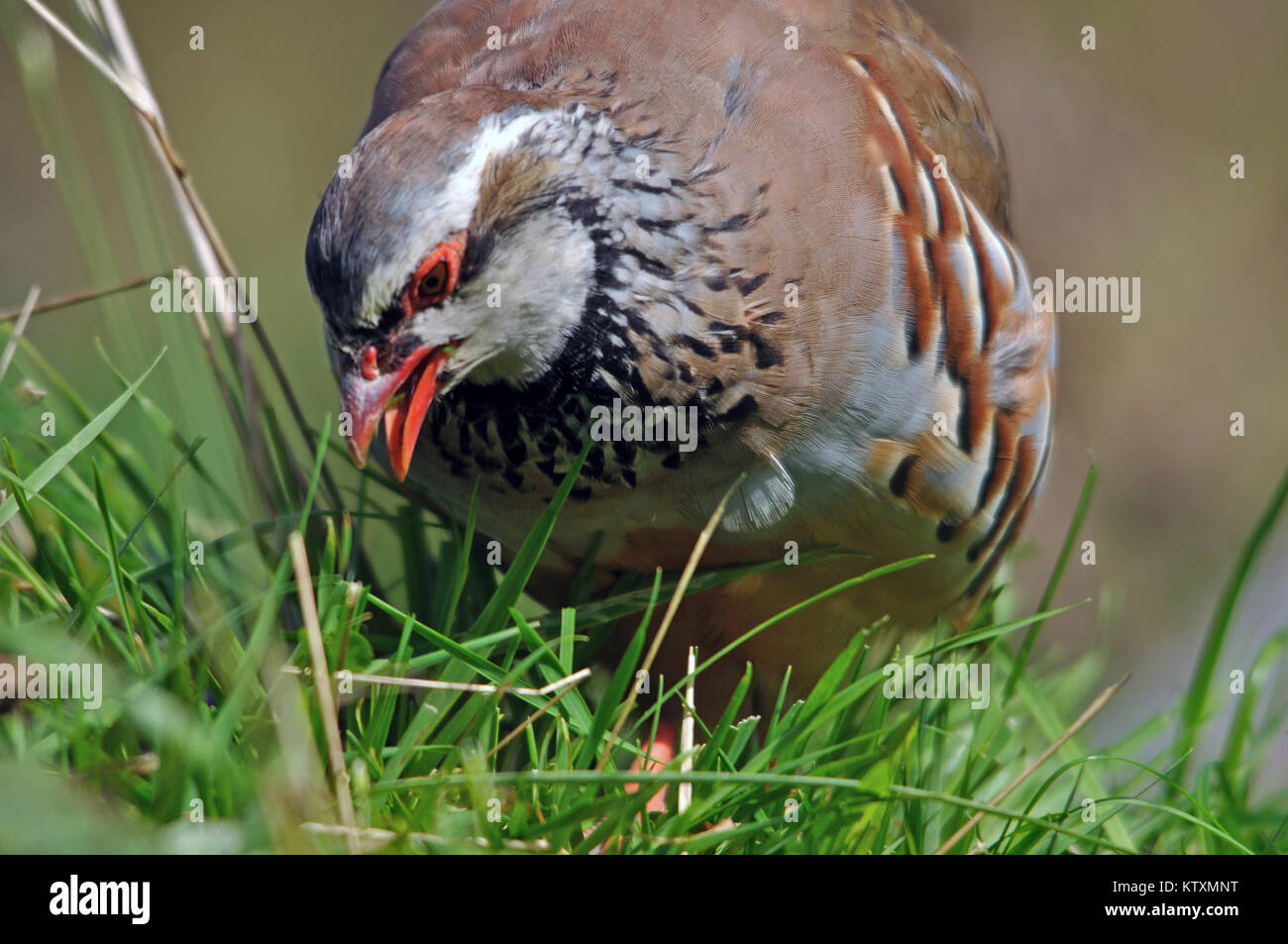 Red- legged partridge or Chukor, Alectoris chukor, foraging for food, New Zealand - Stock Image