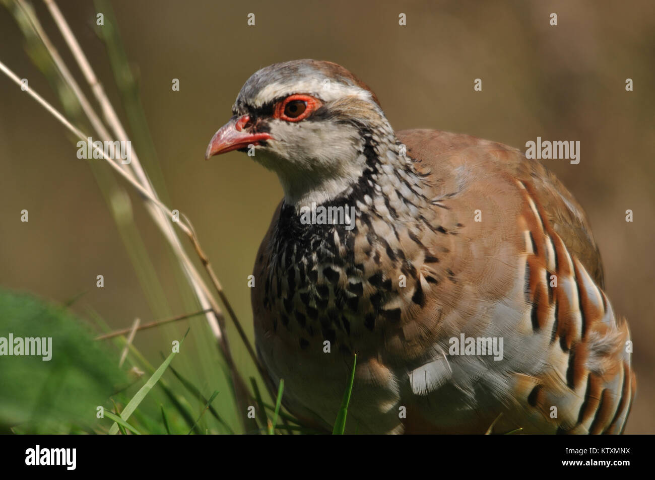 Red- legged partridge or Chukor, Alectoris chukor, on the llokout for danger, New Zealand - Stock Image
