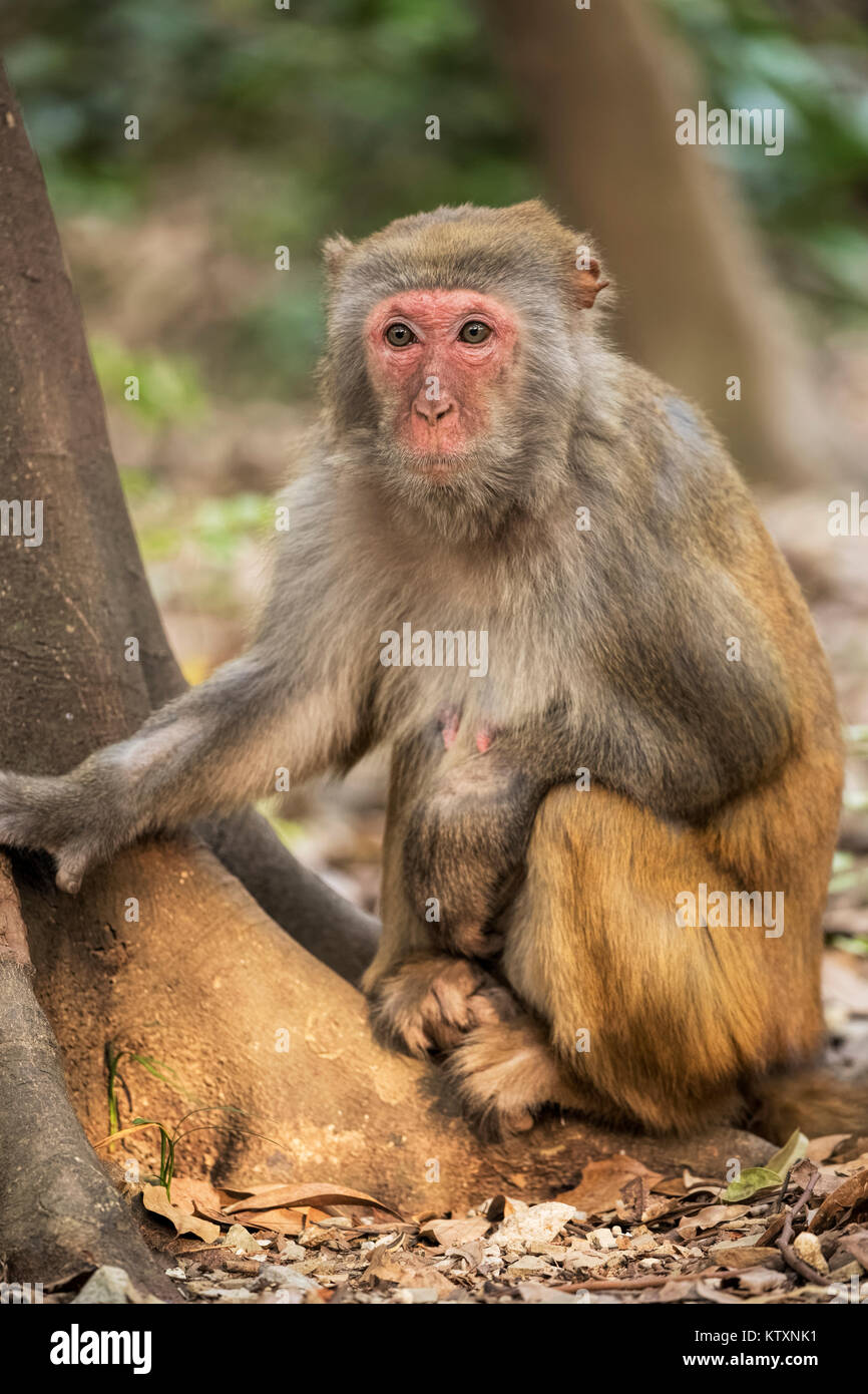 The Rhesus Macaque Macaca mulatta, is one of the best-known species of Old World monkeys.  Rhesus Macaques inhabit - Stock Image