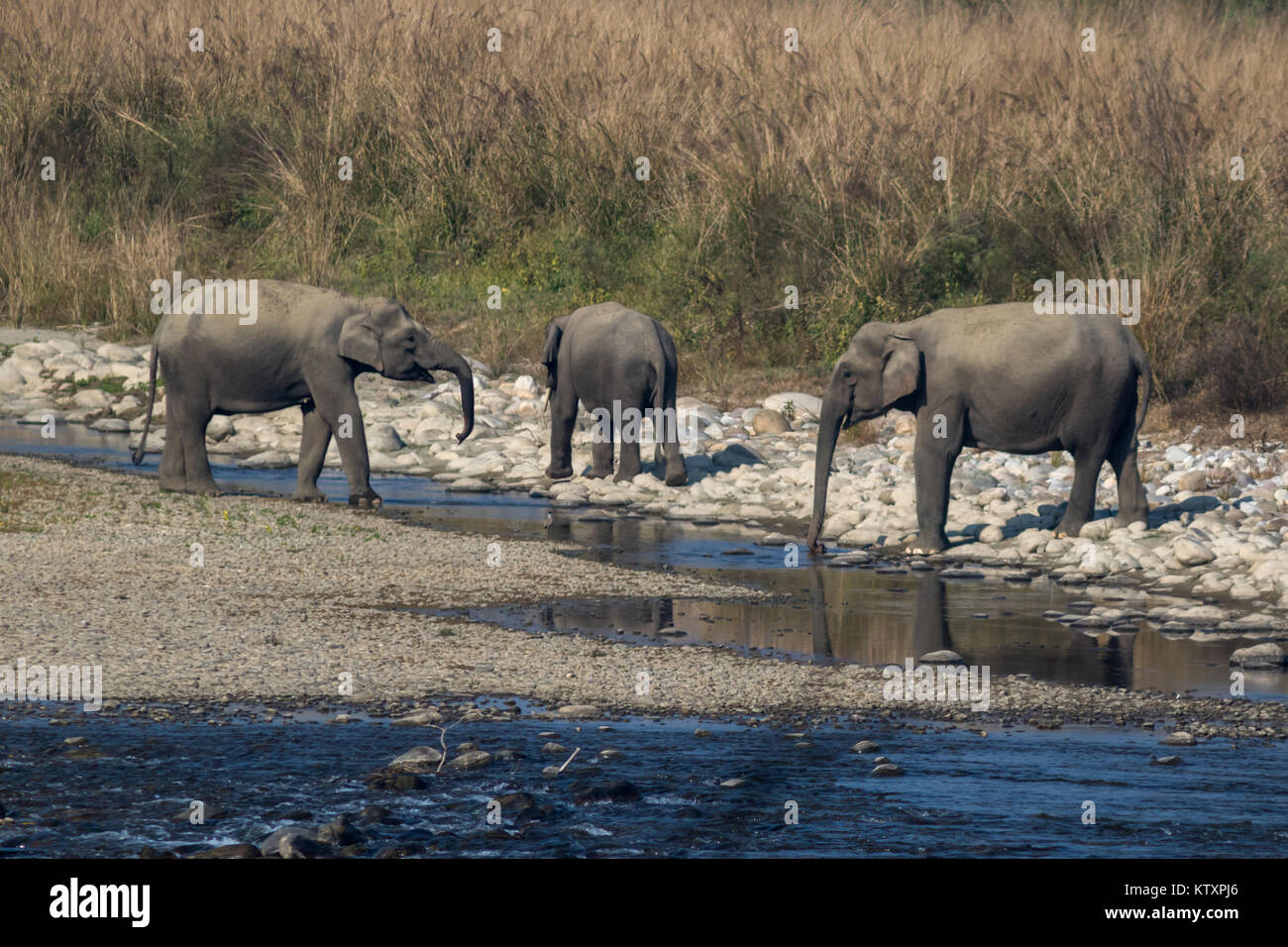 The Indian elephant (Elephas maximus indicus) drinking water in the Ramganga river in Corbett Tiger Reserve in Uttarakhand, - Stock Image