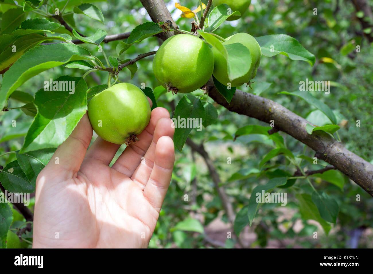 Farmer man holding an apple. Gardener hand picking green apple. Stock Photo