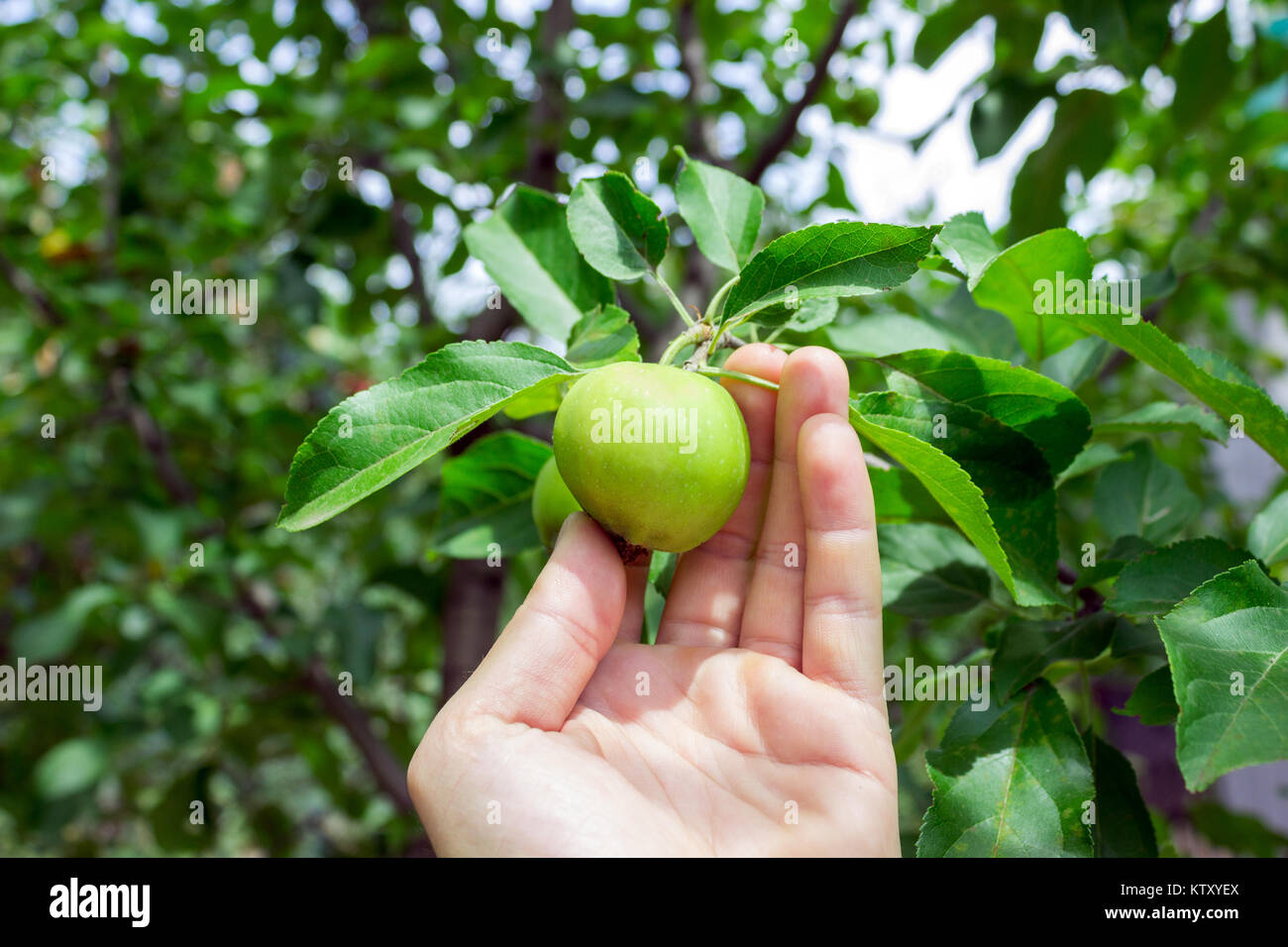 Farmer man holding an apple. Gardener hand picking green apple. Stock Photo