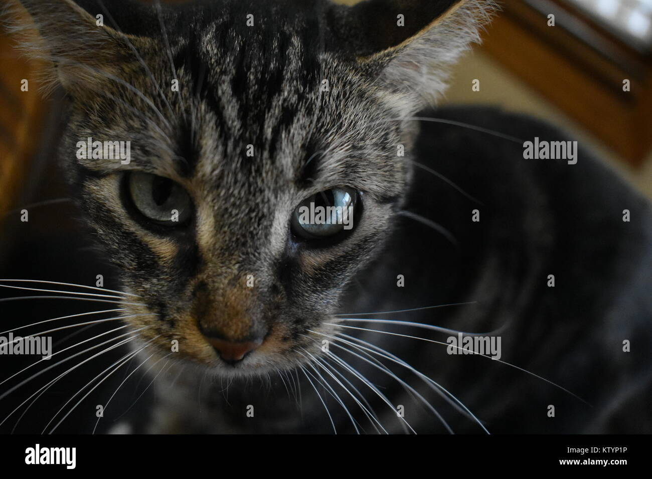 Tabby cat with long whiskers looking at the camera - Stock Image