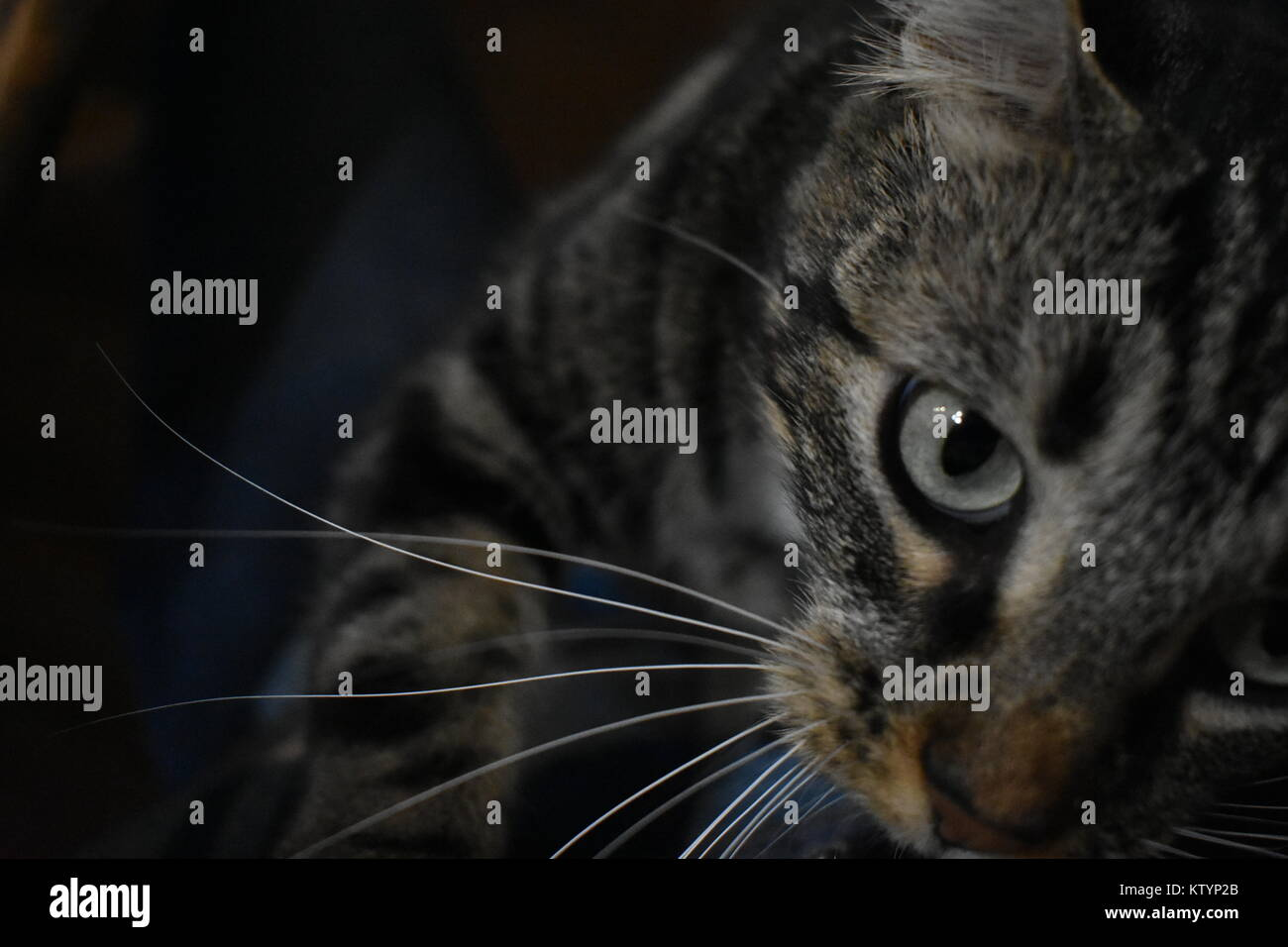 Cute tabby cat with green eyes and long whiskers - Stock Image