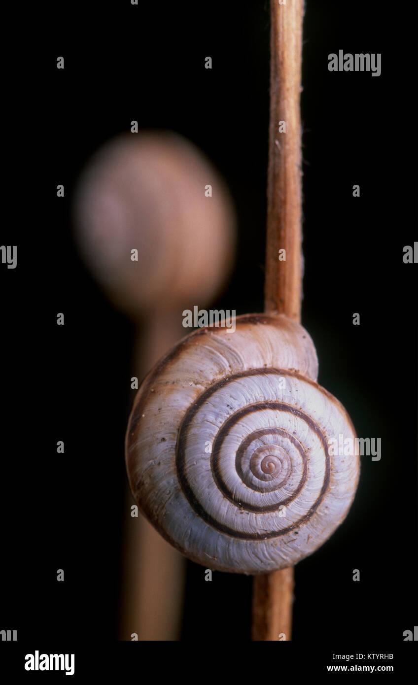 Common white snail (Cernuella virgata) - a pest in Australia - Stock Image