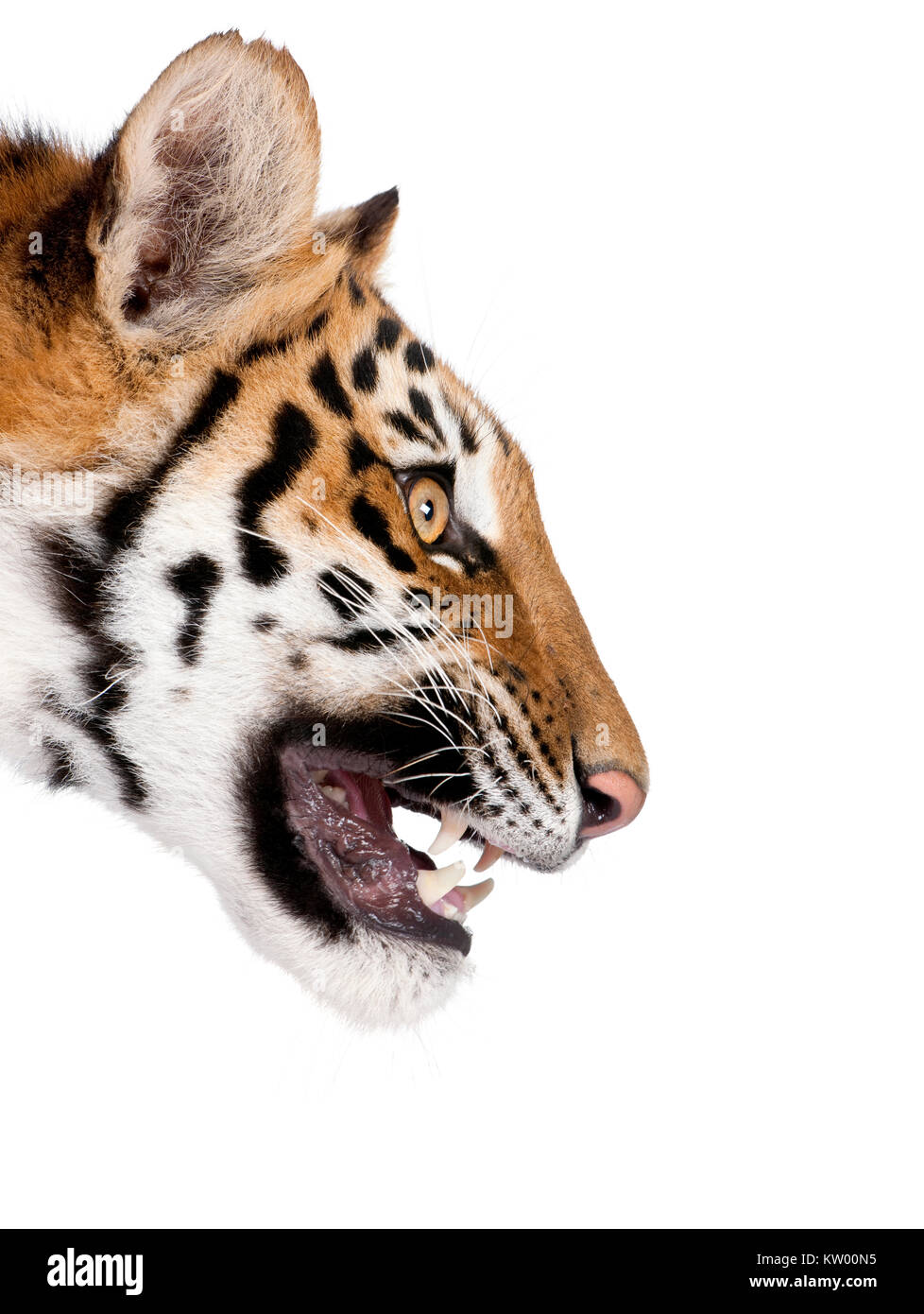 Close-up profile of Bengal tiger snarling, Panthera tigris tigris, 1 year old, in front of white background, studio - Stock Image