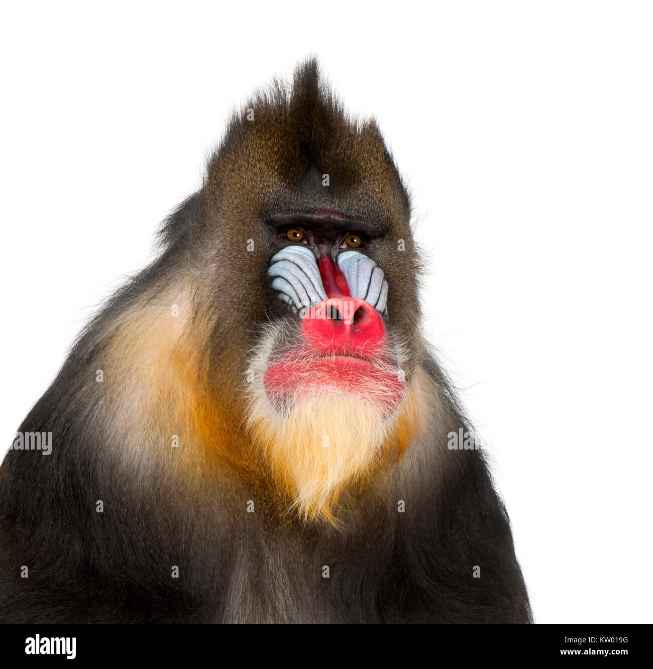 Mandrill - Mandrillus sphinx (22 years old) is a primate of the Old World monkey - Stock Image