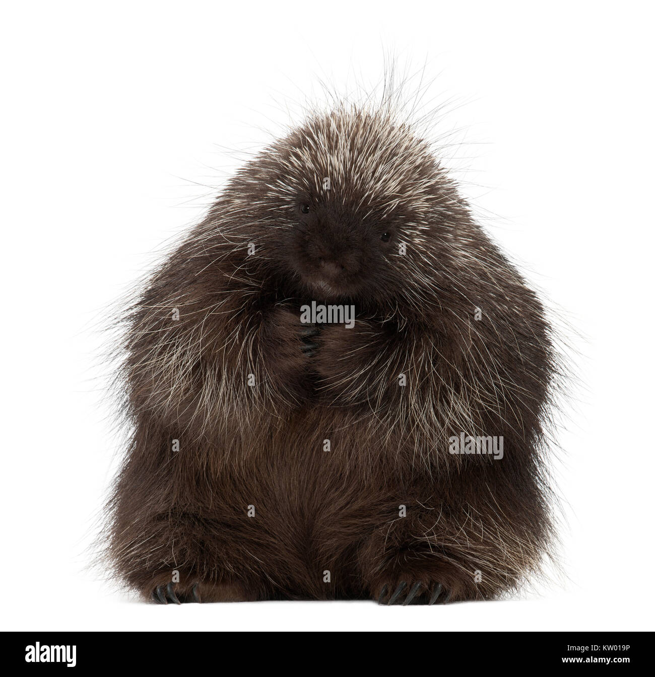 North American Porcupine sitting, Erethizon dorsatum, also known as Canadian Porcupine or Common Porcupine against Stock Photo
