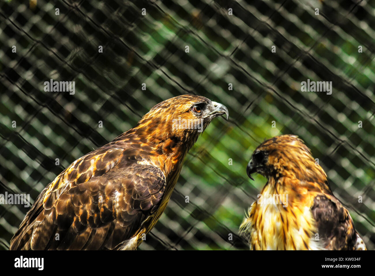 Two Red Tailed Hawks Buteo Jamaicansis In An Enclosure At The Stock Photo Alamy