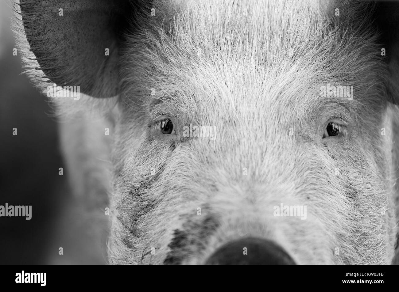 Portrait of a pig's face. - Stock Image