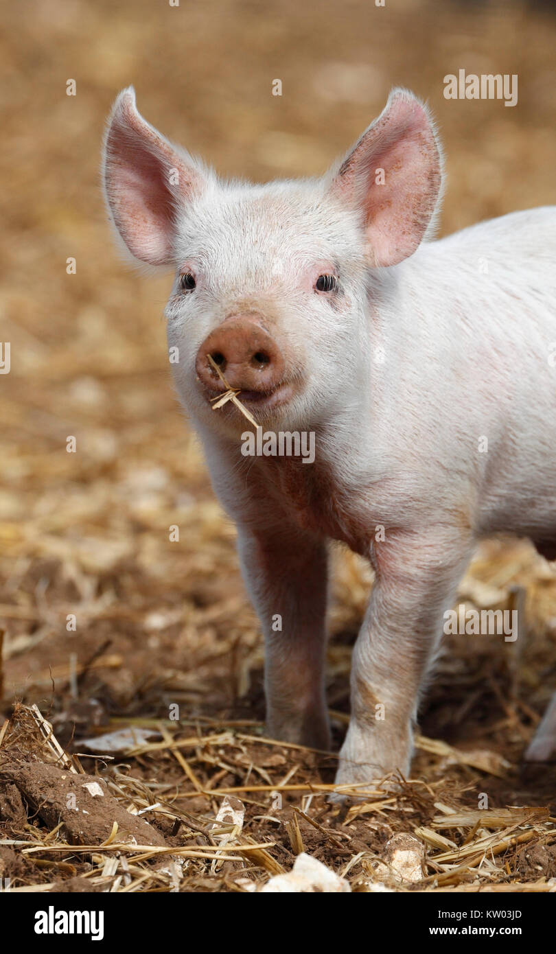 Piglet on an outdoor pig farm. - Stock Image