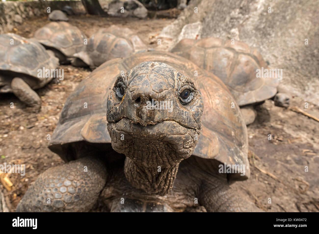 Aldabra giant tortoise (Aldabrachelys gigantea), Testudinidae. L'Union Estate Farm - Stock Image