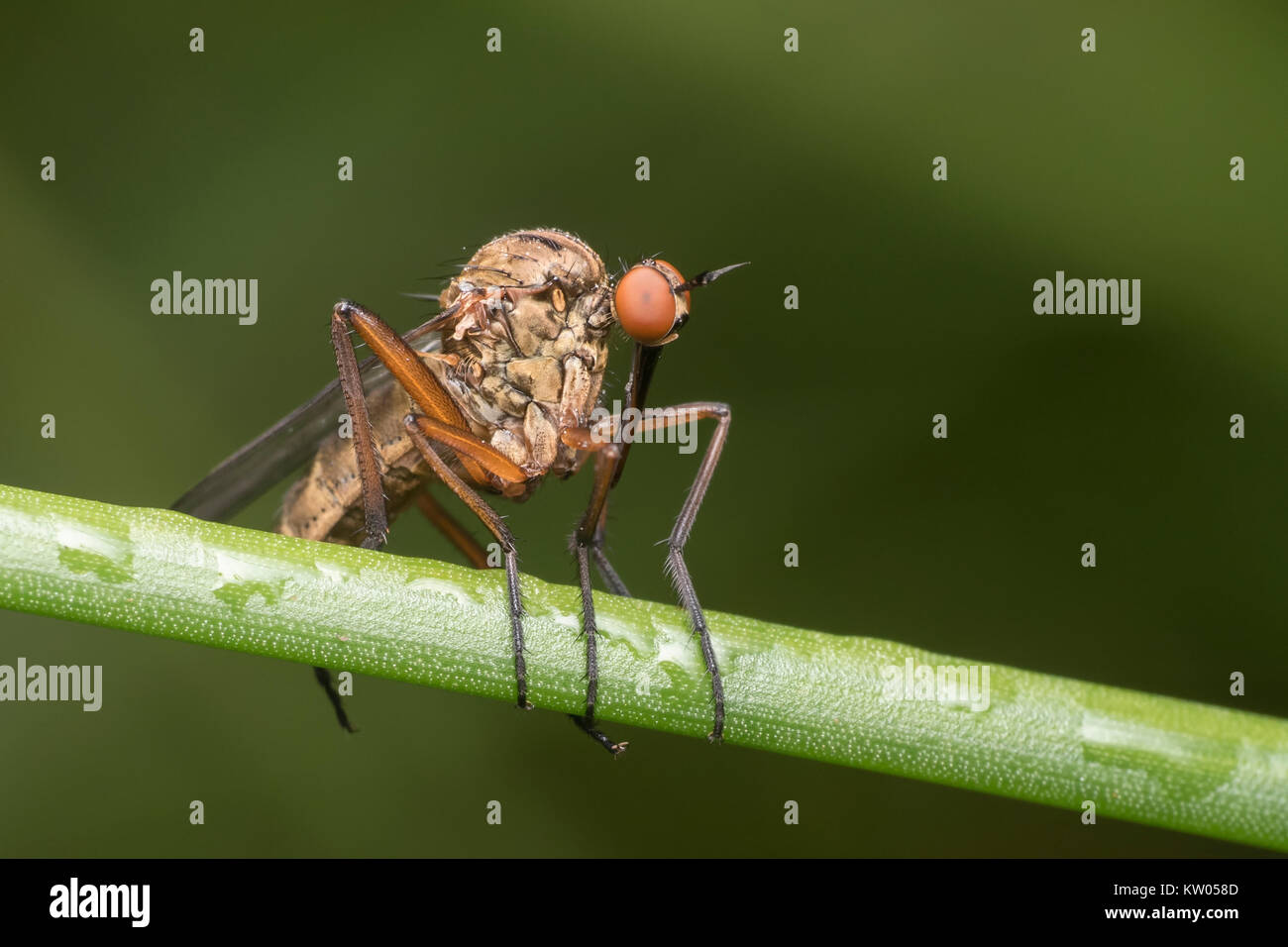 Daggerfly (Empis sp.) perched on reed stem. Knockavilla, Tipperary, Ireland - Stock Image