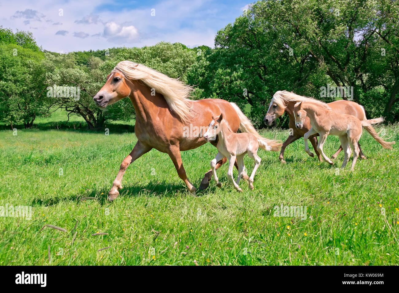 Haflinger mare with frisky foals running together across a pasture in a beautiful farm landscape, Germany. - Stock Image