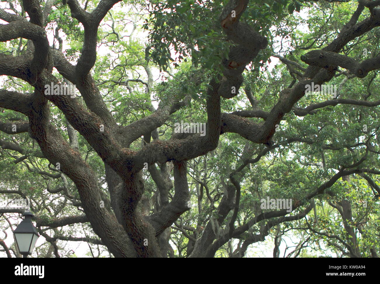 Mighty crown oak green foliage in Jacksonville, Florida - Stock Image
