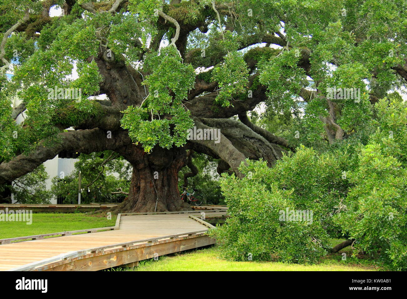 Famous mighty ancient oak in Jacksonville, Florida - Stock Image