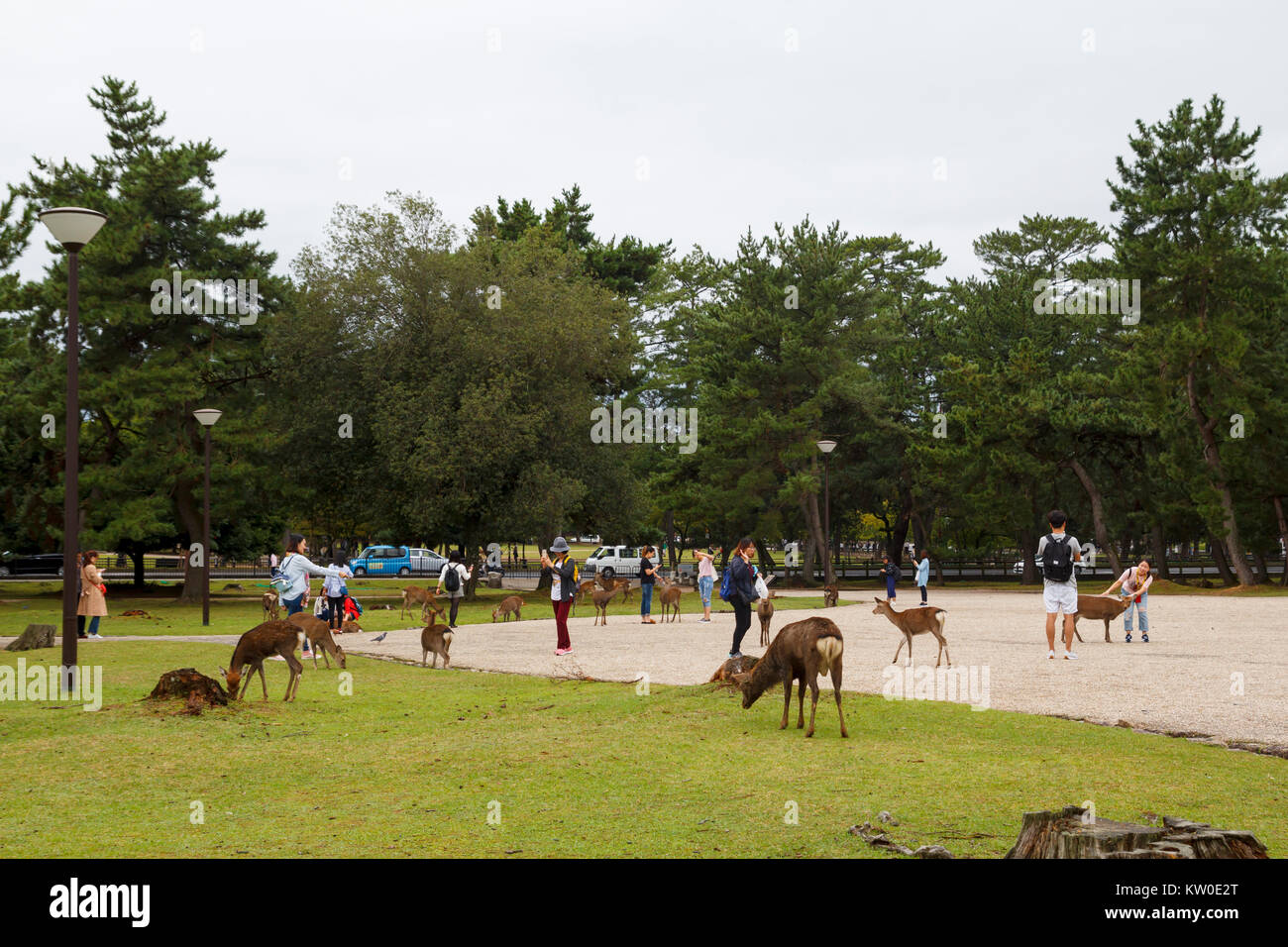 Visitors and wild deer in the city of Nara, a major tourism destination in Japan - Stock Image