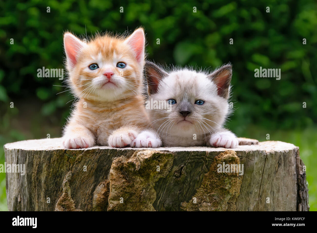 Two Cute Baby Cat Kittens Side By Side Watching Curiously In A Stock