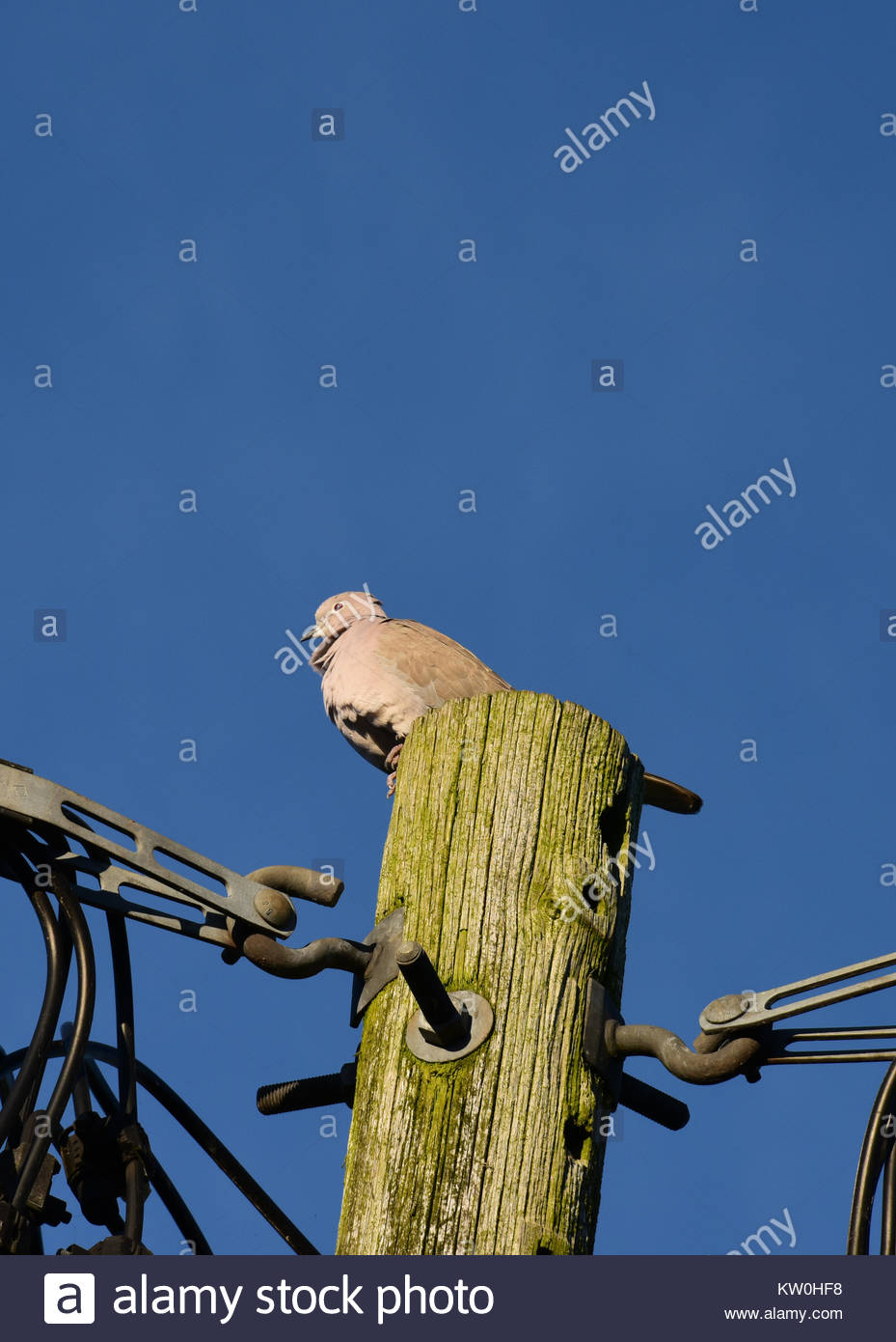 Collared dove perched on a power pole with a clear blue sky behind. - Stock Image