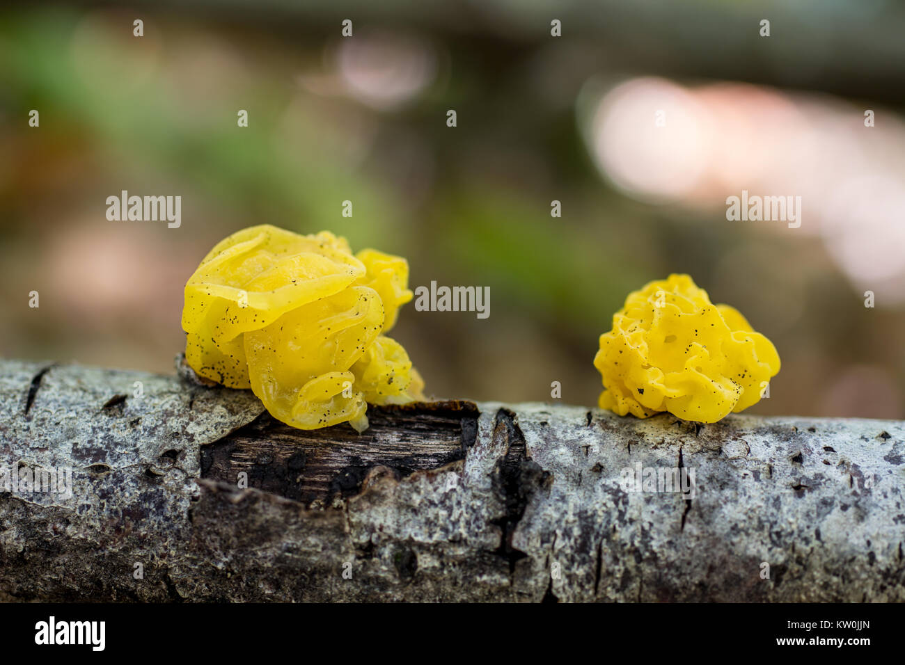 Tremella mesenterica. Nice fungus that grows on dead wood. Photographed in a chestnut forest. - Stock Image