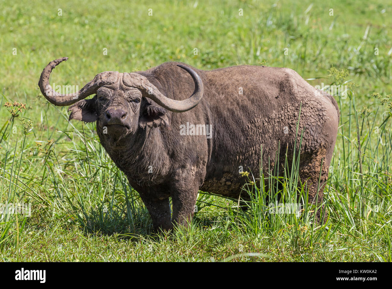Large male African buffalo, Syncerus caffer, grazing. - Stock Image