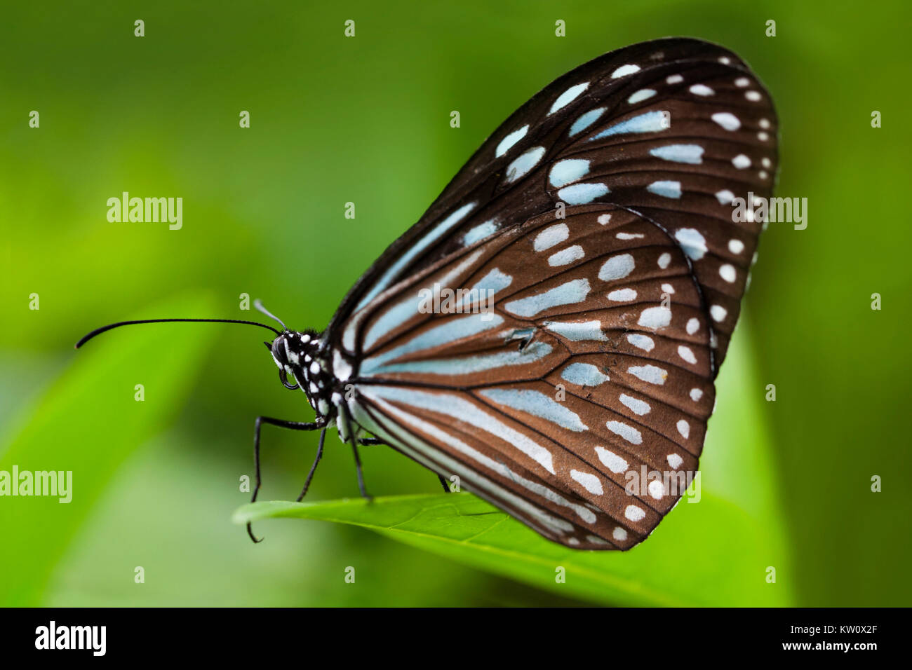 Close up of a Blue Tiger Butterfly, Tirumala limniace, on a leaf in Ishigaki, Japan. - Stock Image