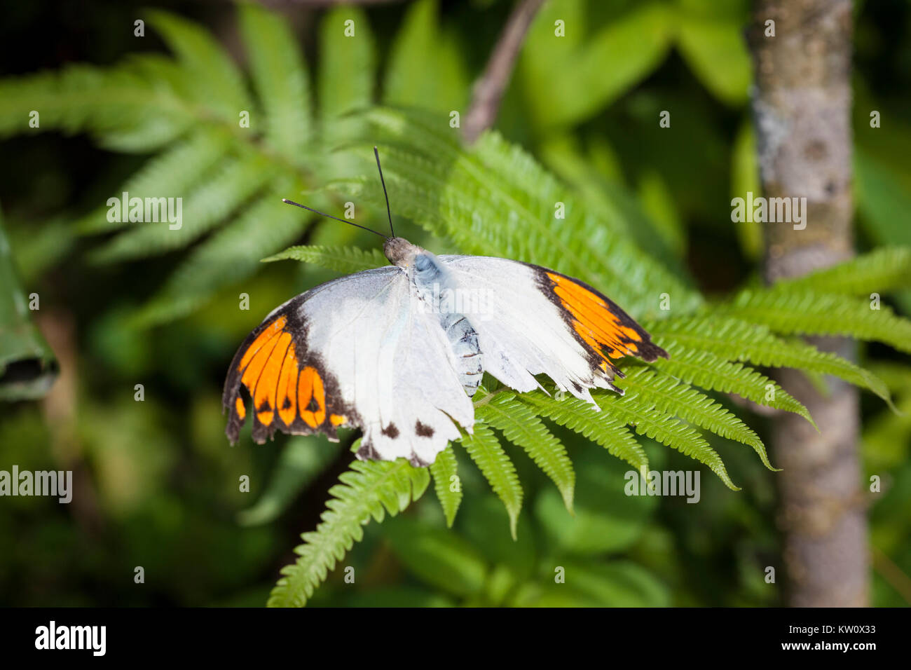 Great Orange Tip Butterfly, Hebomoia glaucippe, sits on a fern plant in Ishigaki, Okinawa Prefecture, Japan. - Stock Image