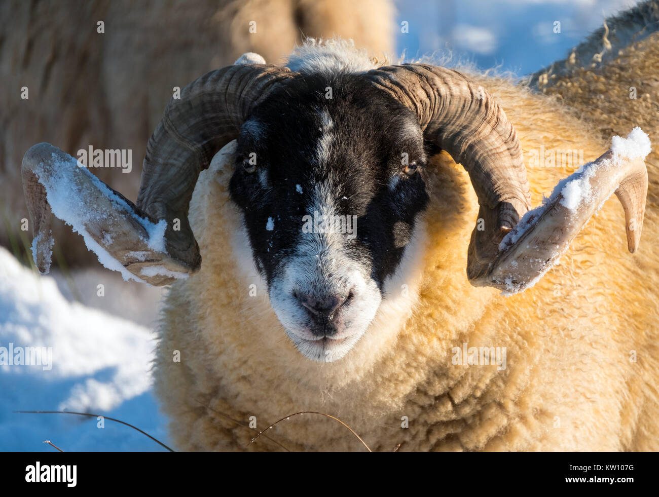 Blackface sheep foraging for food in the snow near Woolfords West Lothian, Scotland. - Stock Image