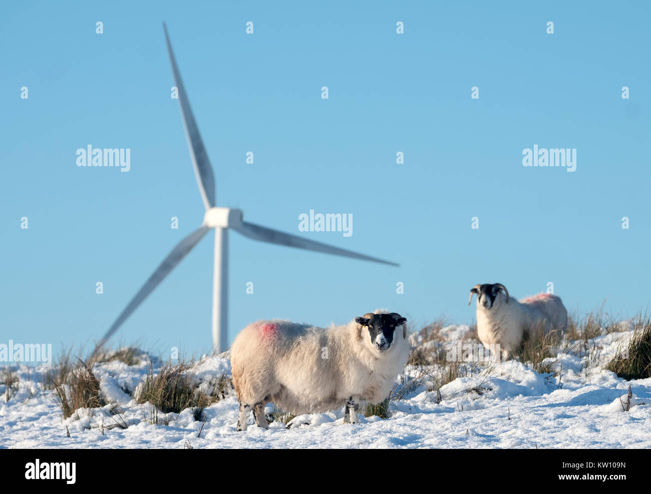 Blackface sheep foraging for food in the snow with wind turbines behind them, West Lothian, Scotland. - Stock Image