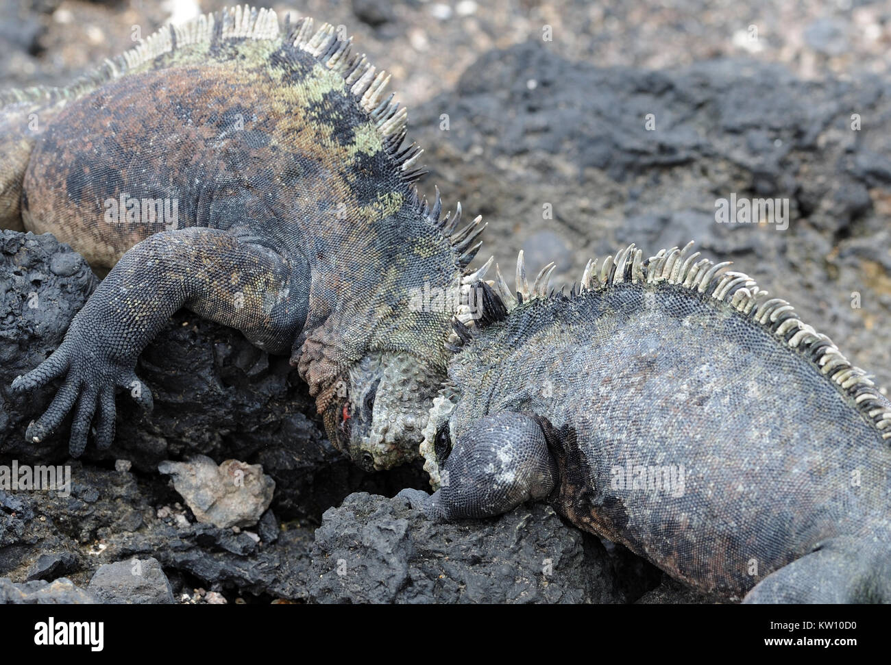 Two big male iguana or Galápagos marine iguana (Amblyrhynchus cristatus cristatus) push against each others - Stock Image