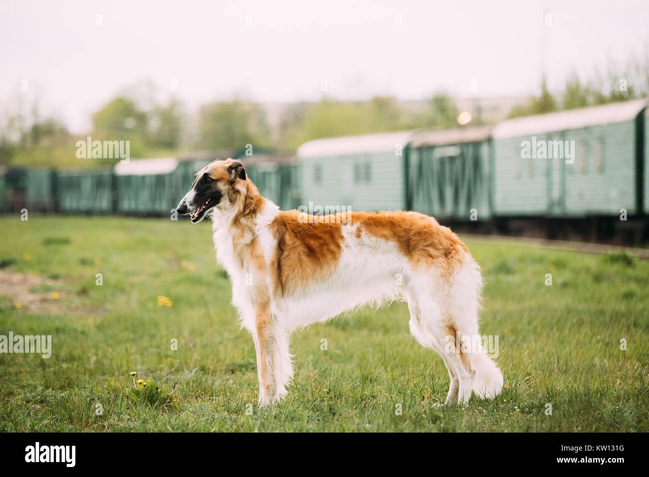 Russian Dog, Borzoi Gazehound Posing Outdoor On Train Background. Stock Photo