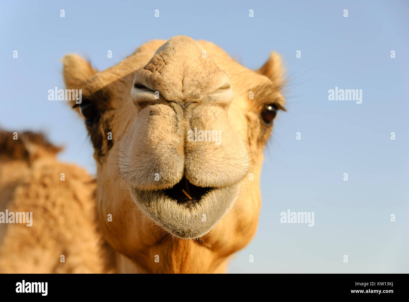 Closeup of a camel's nose and mouth, nostrils closed to keep out sand - Stock Image