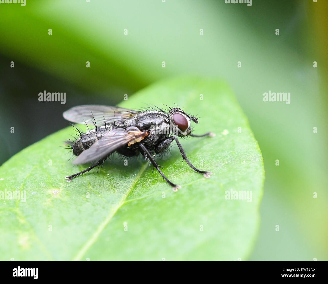 Tachinid parasitic fly perched on a leaf Stock Photo
