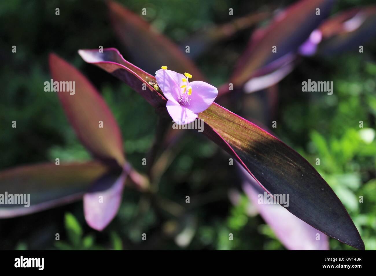 Purple Heart Wandering Jew - Stock Image